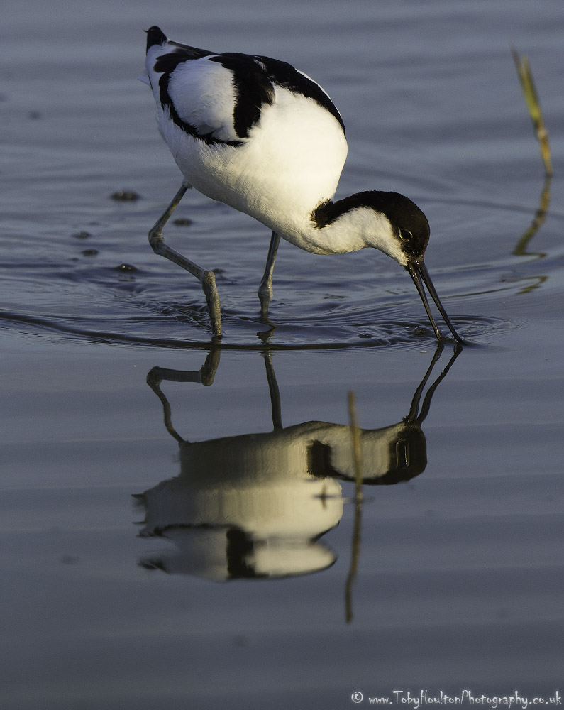 Feeding Avocet