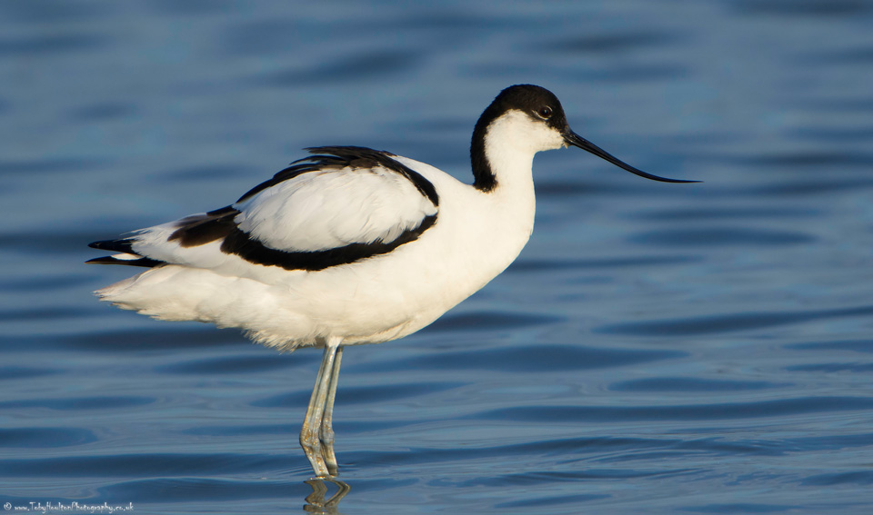 Avocet side portrait