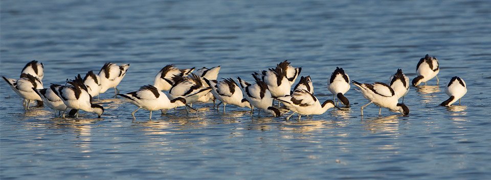 Flock of feeding avocets