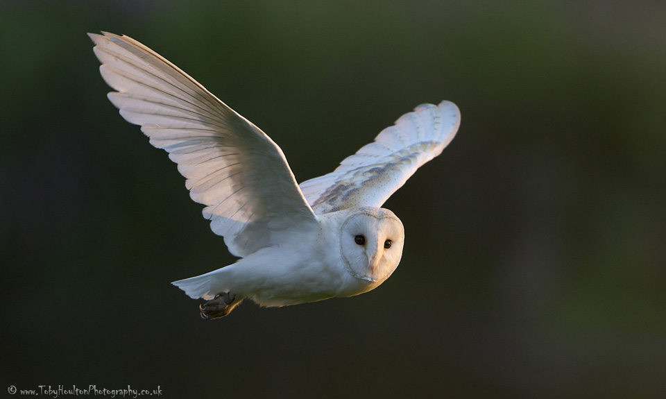 Evening fly past from a Barn Owl