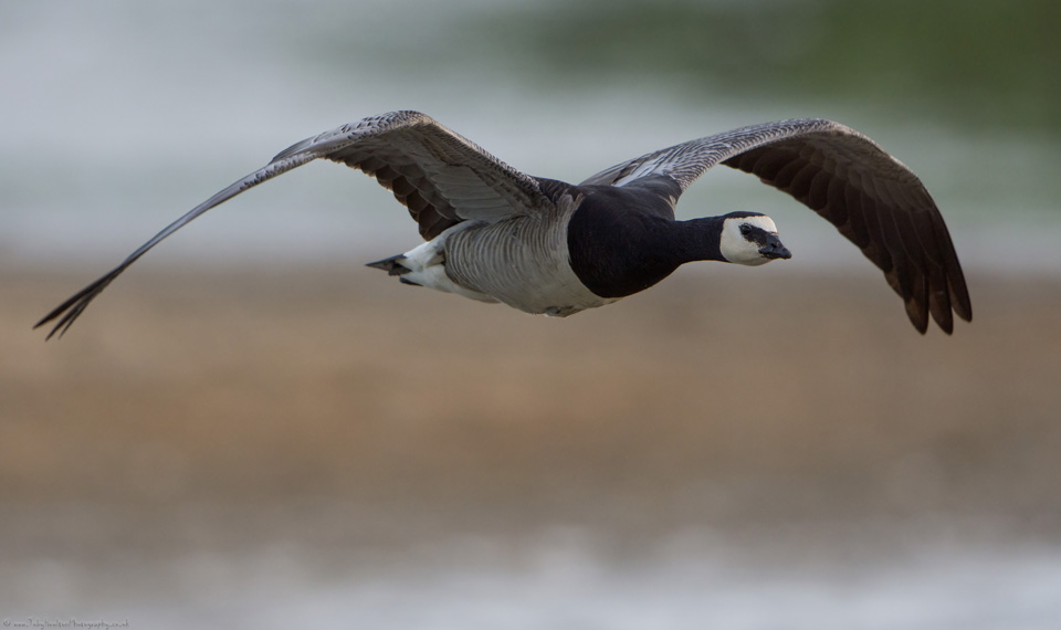 Barnacle Goose flying in