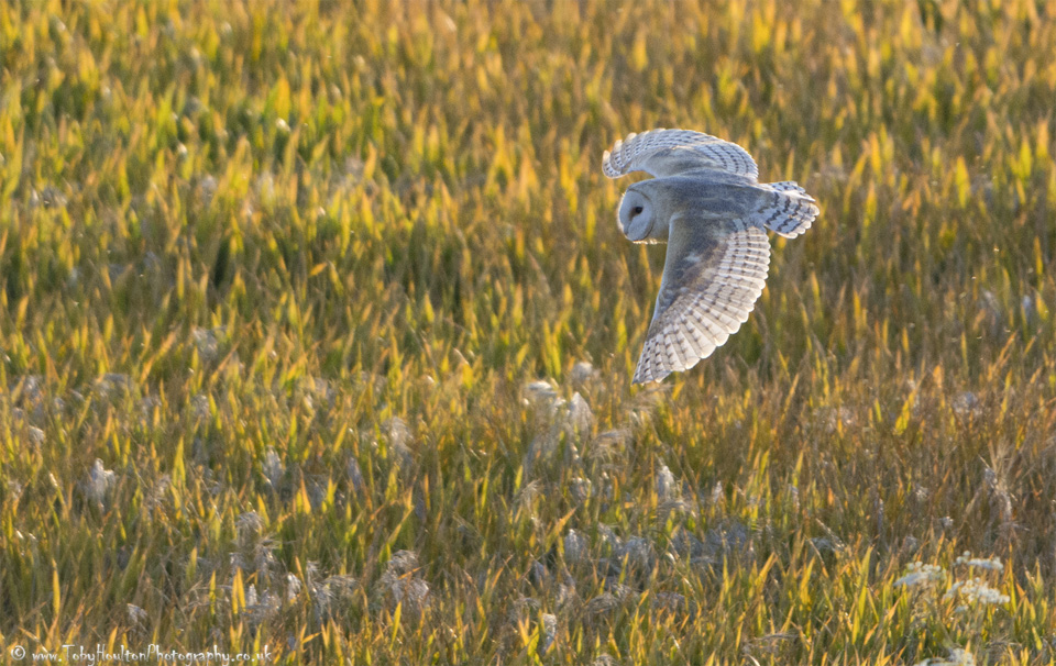 Barn Owl over golden field
