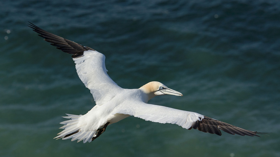 Gannet in flight (from above)