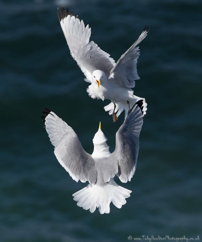 Kittiwakes mid air dogfight