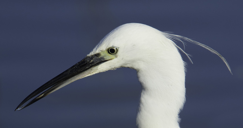 Little Egret portrait