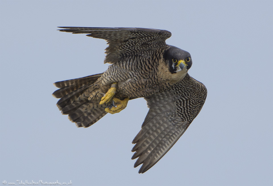 Peregrine Falcon checking us out