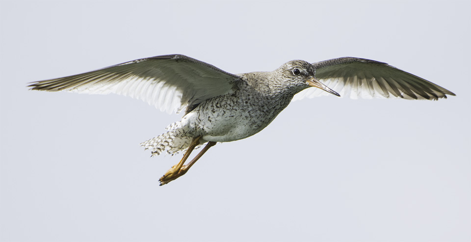 Redshank in flight