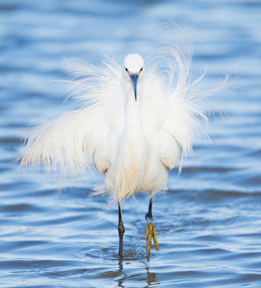 Posing Little Egret, Minsmere