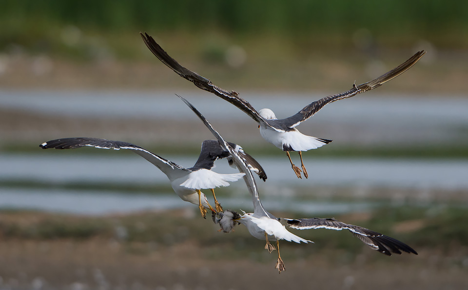 Mid air tussle for a Tern chick