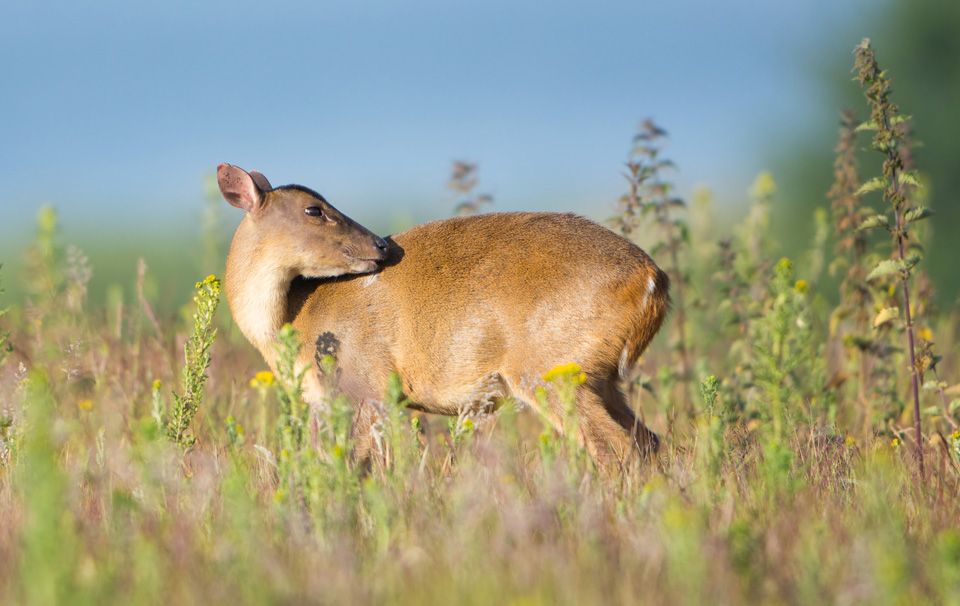 Muntjac grooming, Minsmere