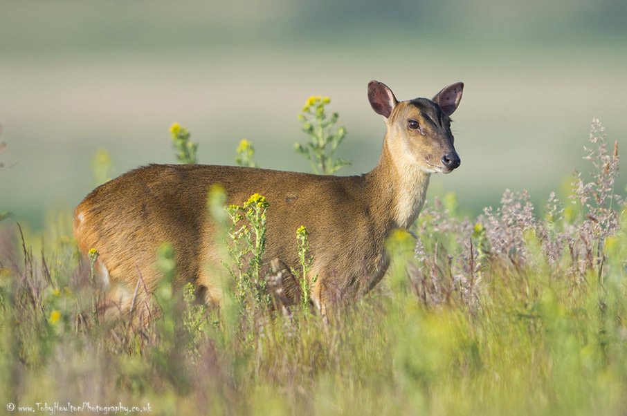 Muntjac in morning sun, Minsmere