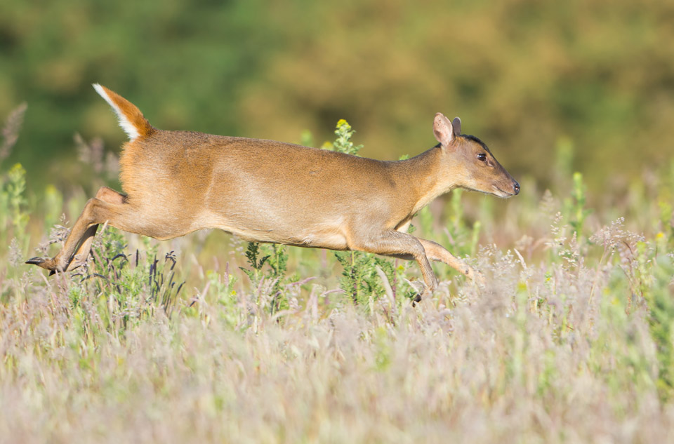 Muntjac running in morning sun, Minsmere