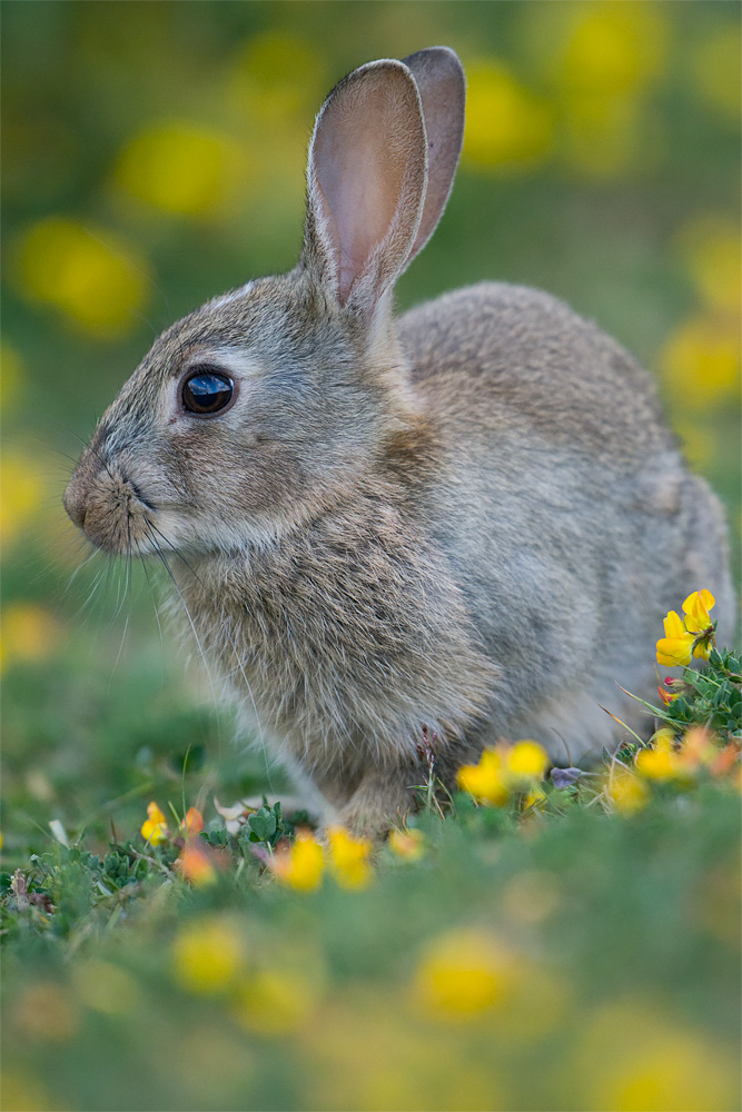 Rabbit Portrait, Minsmere