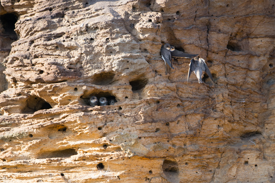 Sand Martins at nest bank, Minsmere