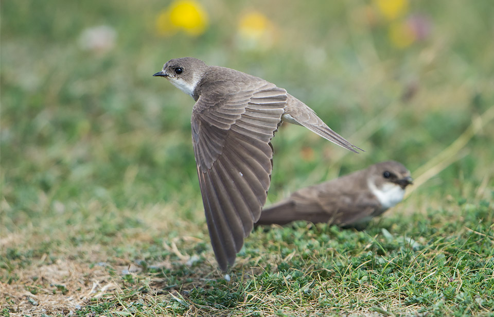 Recently fledged Sand Martins, Minsmere