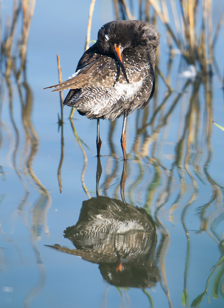 Spotted Redshank preening, Minsmere