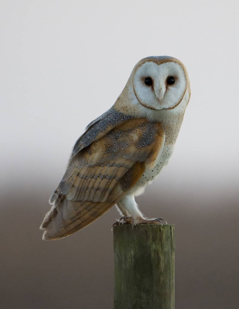 Barn Owl in perfect pose