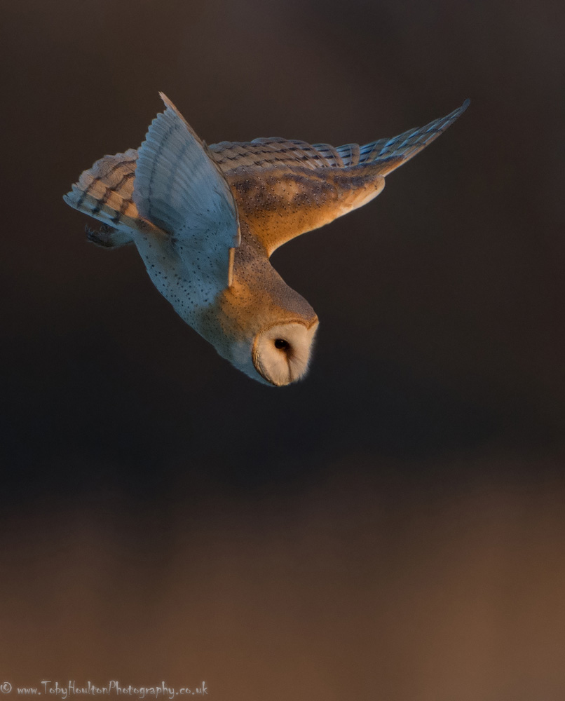 Barn Owl diving after prey