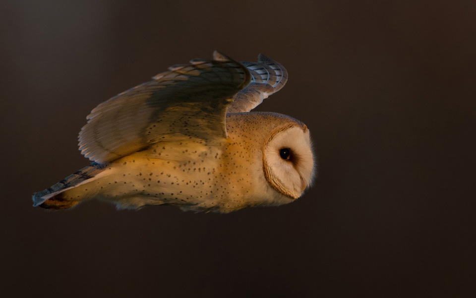 Barn Owl at sunset
