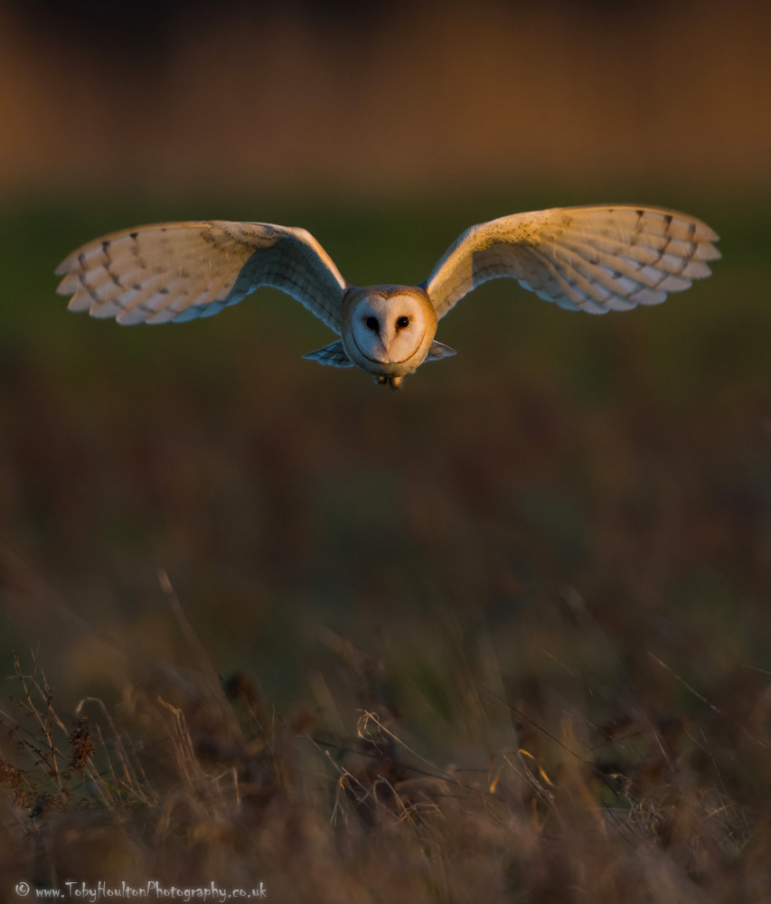 Barn Owl incoming!