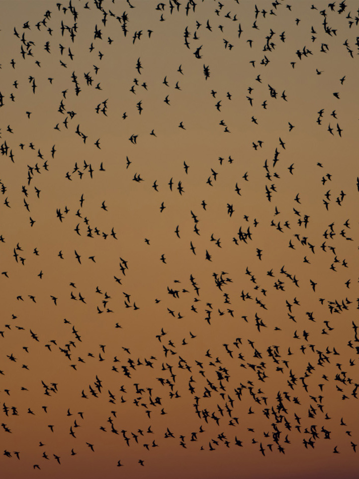 Golden Plover flock at dawn