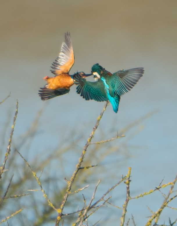 Kingfisher Fight (large crop)