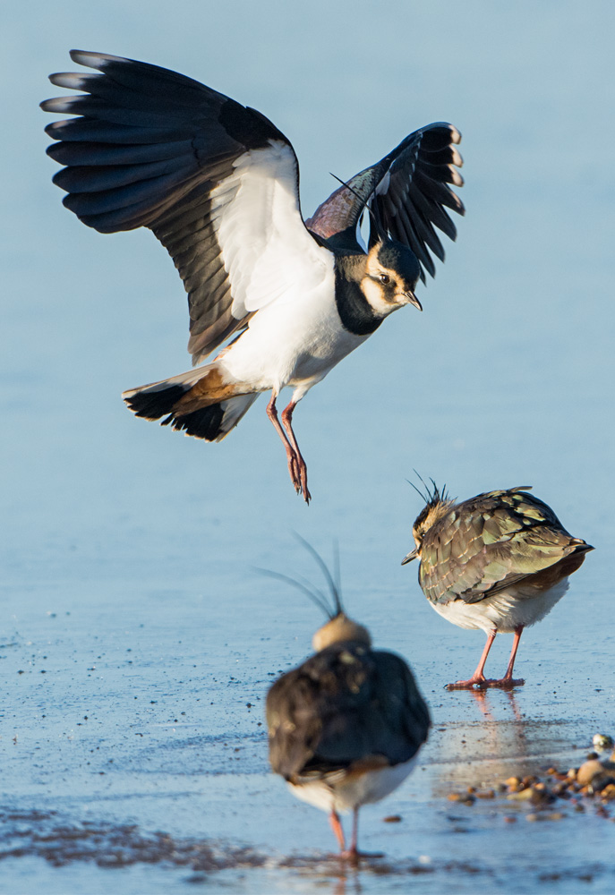 Lapwings on ice