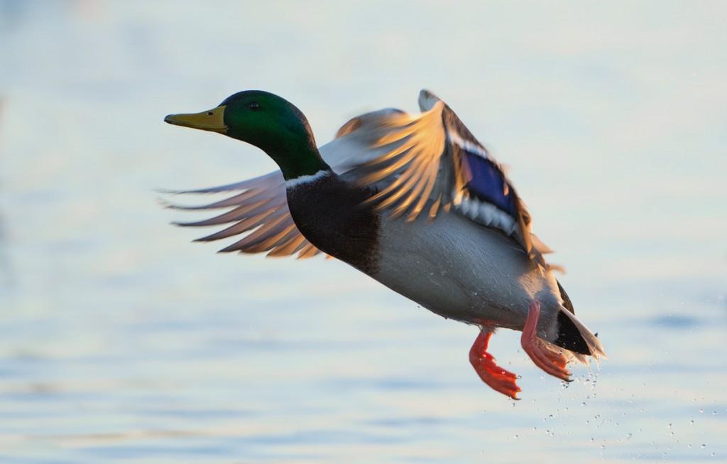 Mallard takeoff
