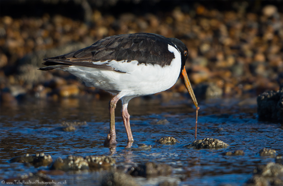 Oystercatcher pulling worm