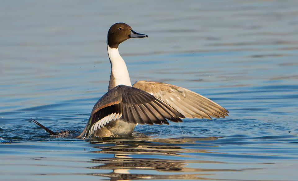 Pintail washing