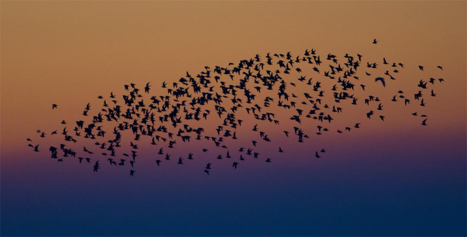 Dawn flock