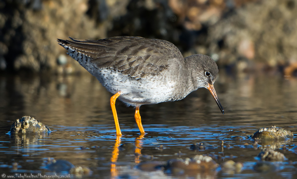 Redshank looking for food