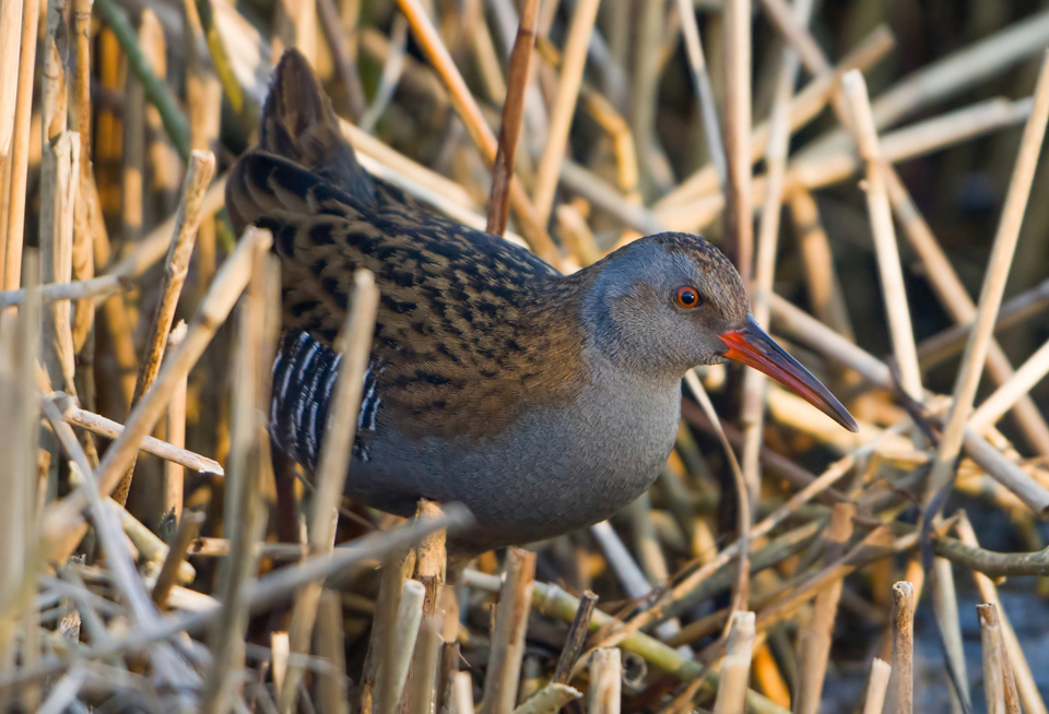 Water Rail amongst reeds