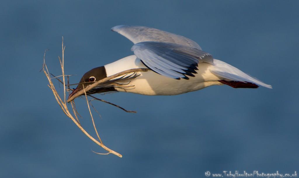 Black Headed Gull with nesting material - Rye Harbour