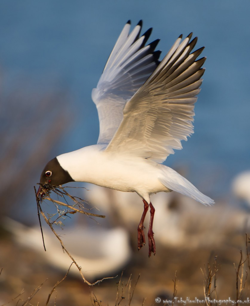 Black Headed Gull with nesting material - Rye Harbour