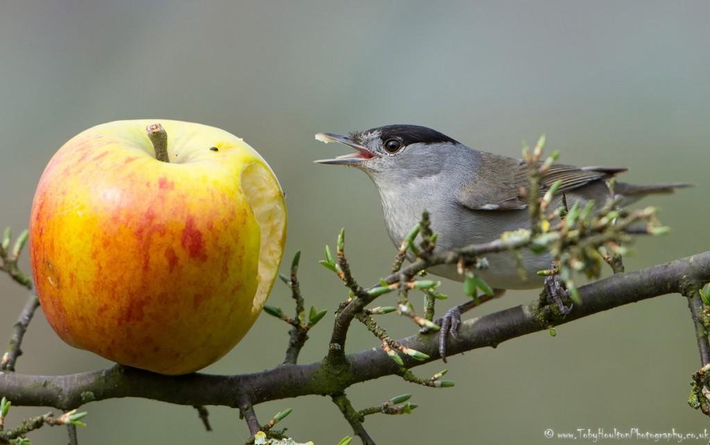Blackcap eating from apple in my garden