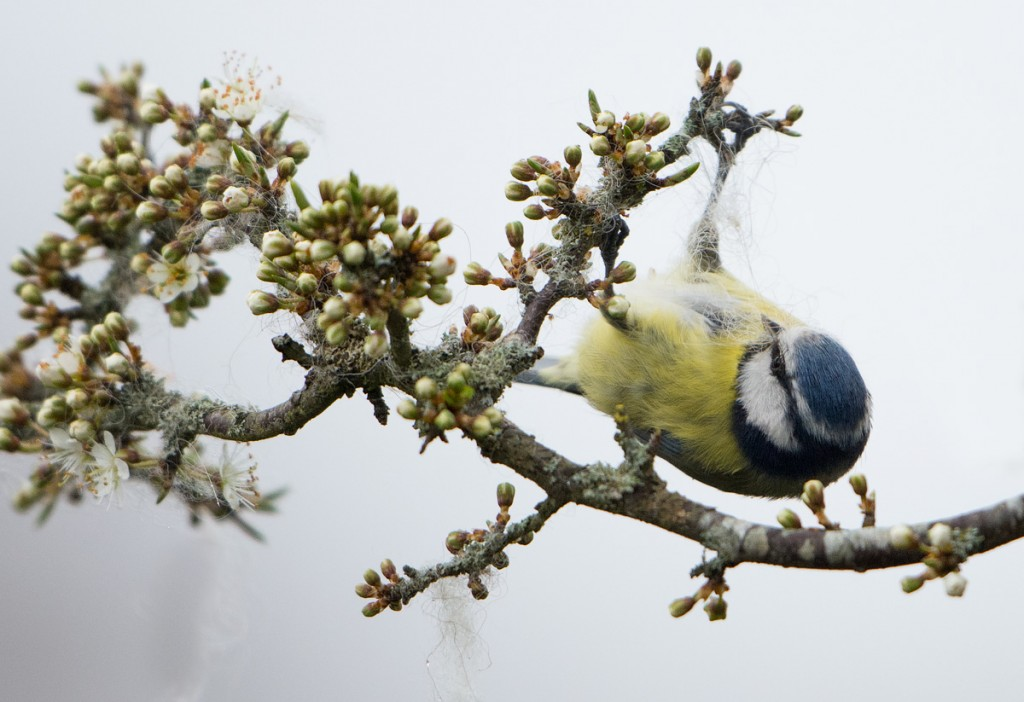 Blue Tit gathering wool from my garden