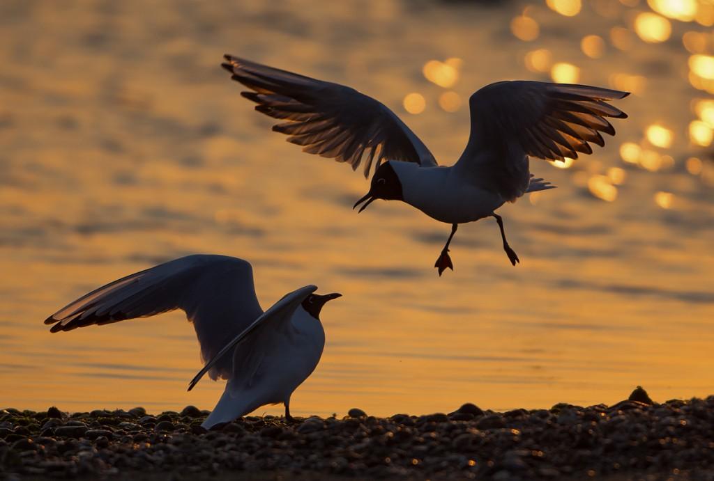 Dawn Gulls, Rye Harbour