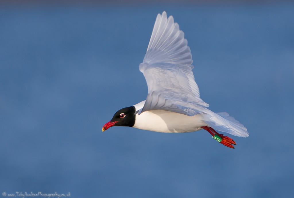 Med Gull with leg ring - Rye harbour