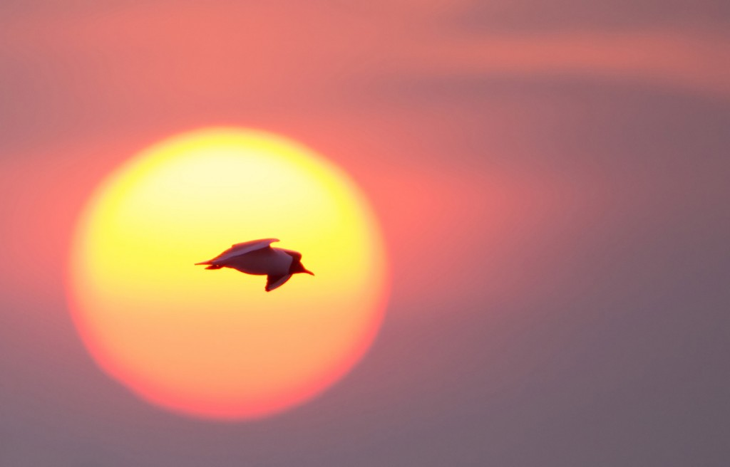 Black Headed Gull at sunrise, Rye Harbour