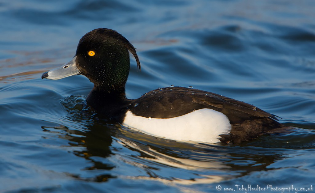 Tufted Duck male - Rye Harbour