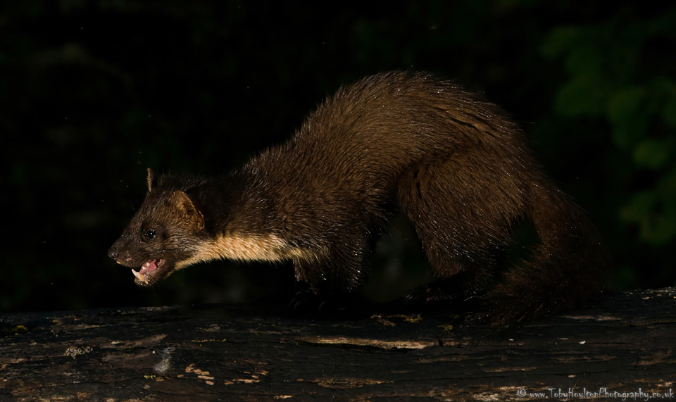 Pine Marten eating - Ardnamurchan