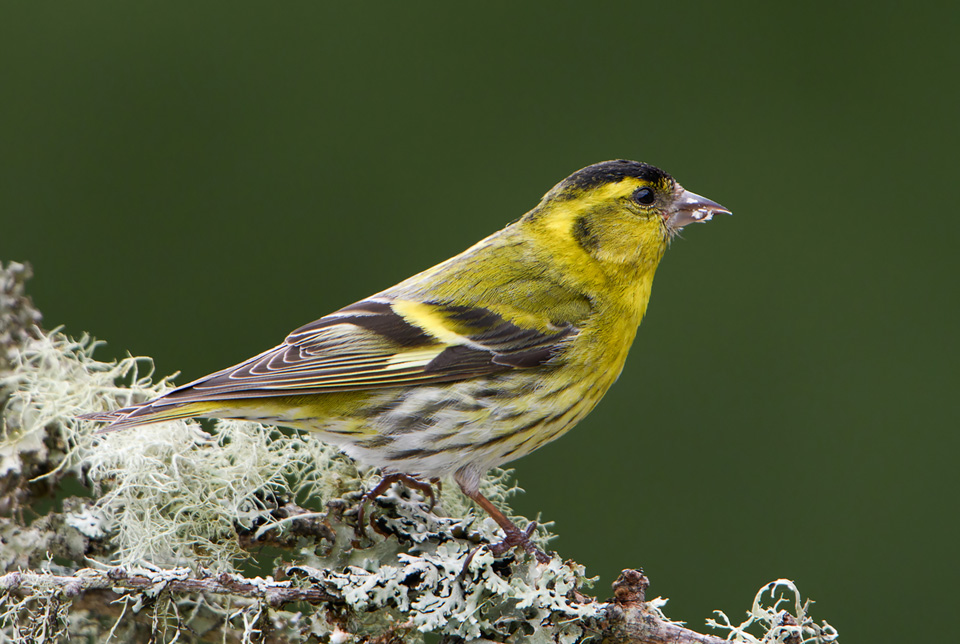 Male Siskin on lichen, Ardnamurchan