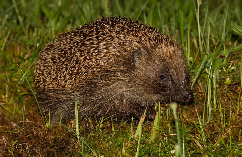 Hedgehog, Ardnamurchan