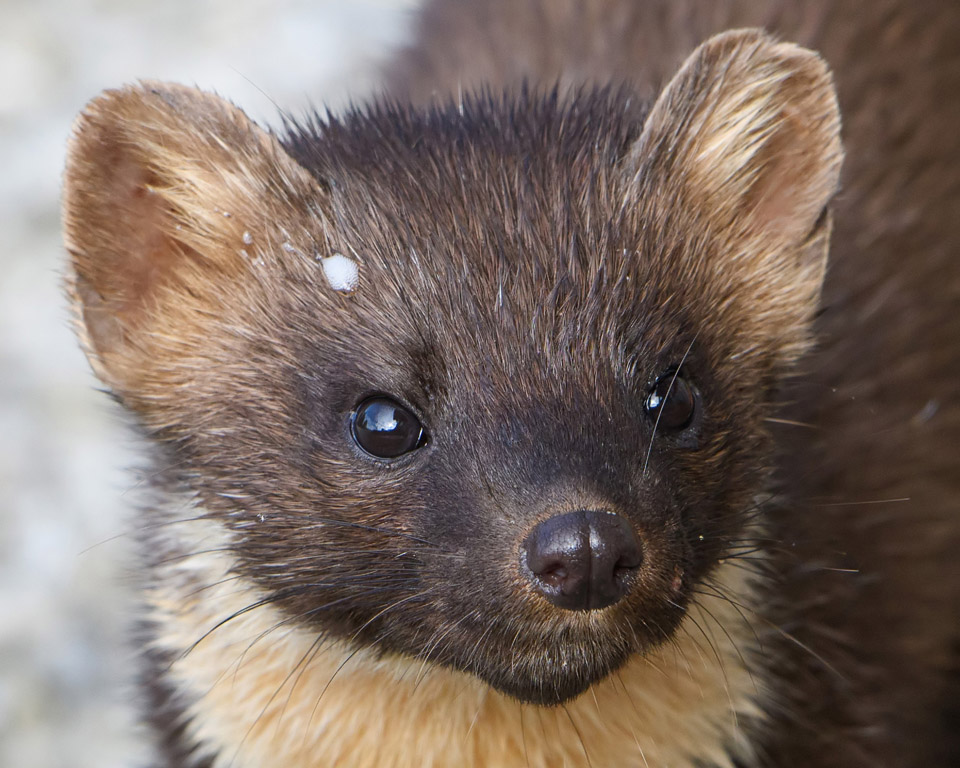 Pine Marten face close up