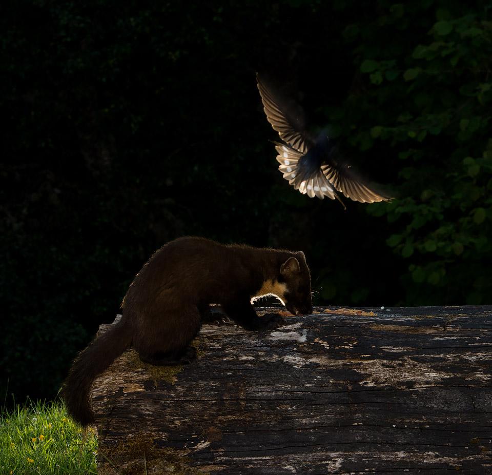 Swallow attacking Pine Marten, Ardnamurchan
