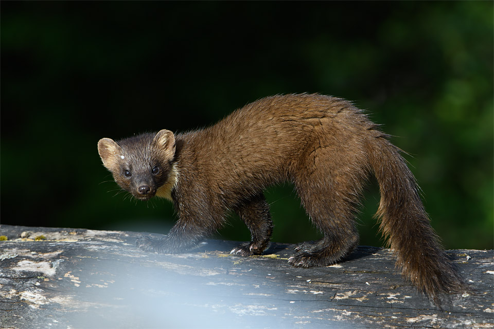 Pine Marten (with annoying white blur!)