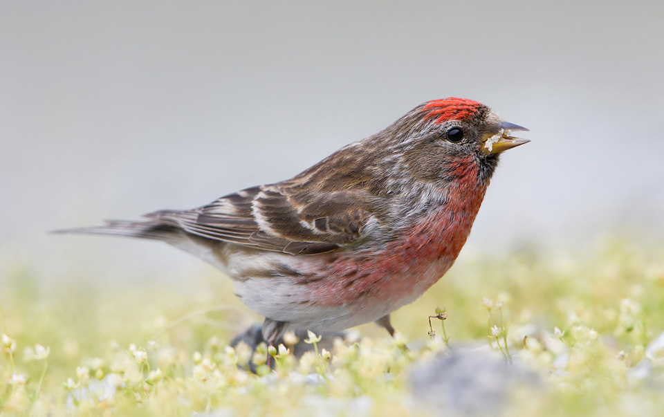 Redpoll feeding on ground, Ardnamurchan