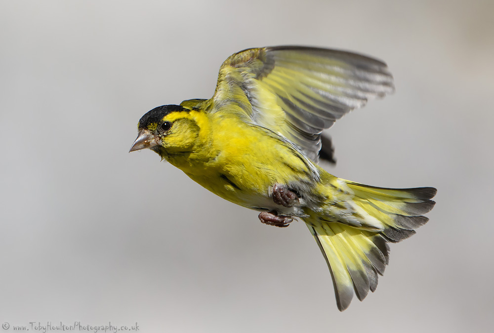 Siskin in flight