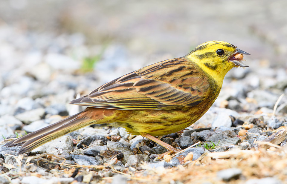 Yellowhammer feeding, Ardnamurchan